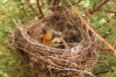 在日落的老巢在我的庭院里 免版税库存照片