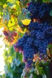在日落的老藤的葡萄 免版税库存照片