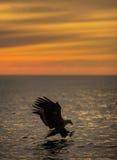 在日落的老鹰狩猎 库存照片