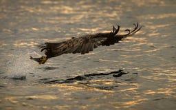 在日落的老鹰狩猎 免版税库存图片