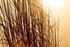 在日落的芦苇本质上 库存图片