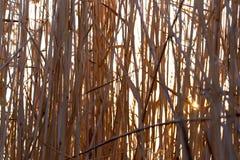 在日落的芦苇本质上 免版税库存图片