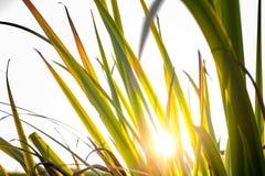 在日落的芦苇 免版税图库摄影