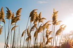在日落的芦苇 图库摄影