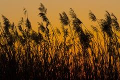 在日落的芦苇 免版税库存图片
