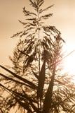 在日落的芦苇 库存图片