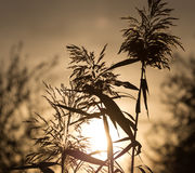 在日落的芦苇 库存照片