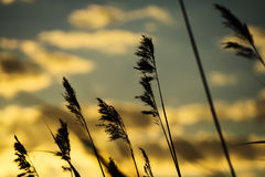 在日落的芦苇 免版税库存照片