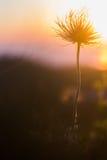 在日落的花 库存照片
