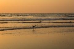 在日落的苍鹭收集在海滩的贝类 库存照片