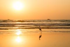 在日落的苍鹭收集在海滩的贝类 库存图片