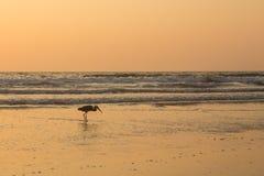 在日落的苍鹭收集在海滩的贝类 免版税库存照片