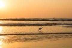 在日落的苍鹭收集在海滩的贝类 免版税库存图片