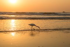 在日落的苍鹭收集在海滩的贝类 免版税图库摄影