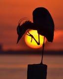 在日落的苍鹭 库存照片