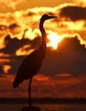 在日落的苍鹭 免版税库存图片
