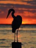 在日落的苍鹭 图库摄影