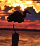 在日落的苍鹭 库存图片