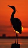 在日落的苍鹭 免版税库存照片