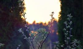 在日落的苹果树 免版税库存照片