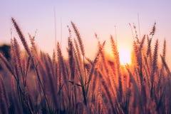 在日落的草在公园 免版税库存图片