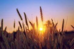 在日落的草在公园 免版税图库摄影