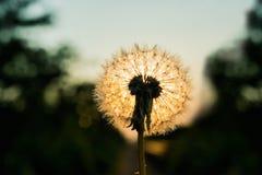 在日落的蒲公英花在自然背景 库存照片