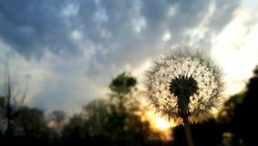 在日落的蒲公英 库存图片