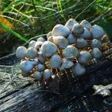 在日落的蘑菇 免版税库存照片
