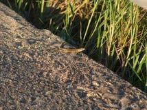 在日落的蜥蜴 图库摄影