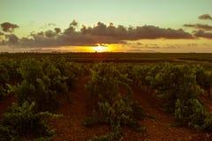 在日落的西西里人的葡萄树 免版税图库摄影