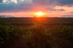 在日落的西西里人的葡萄树 免版税库存图片