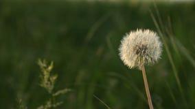 在日落的透明蒲公英种子头在与聚焦的绿草特写镜头从太阳