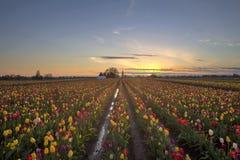 在日落的郁金香领域 库存图片