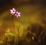 在日落的野花 免版税图库摄影