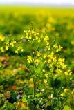 在日落的野花 图库摄影