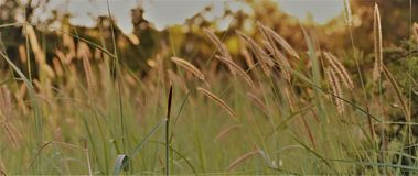 在日落的野草 免版税库存照片