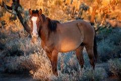 在日落的野马在亚利桑那沙漠 库存照片