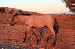 在日落的野马-在Tillett里奇的蓝色软羊皮的马驹蒙大拿美国的普莱尔山的 免版税库存照片