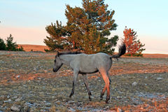 在日落的野马-在Tillett里奇的蓝色软羊皮的马驹蒙大拿美国的普莱尔山的 库存图片