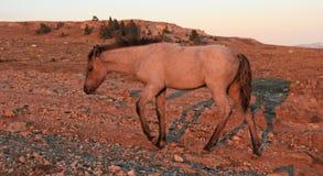 在日落的野马-在Tillett里奇的蓝色软羊皮的马驹蒙大拿美国的普莱尔山的 库存照片