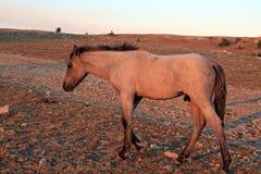 在日落的野马-在Tillett里奇的蓝色软羊皮的马驹蒙大拿美国的普莱尔山的 免版税库存图片