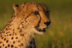 在日落的金黄猎豹头 免版税库存图片