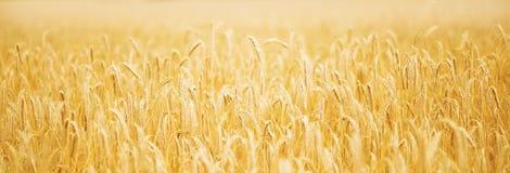 在日落的金黄麦子 免版税库存照片