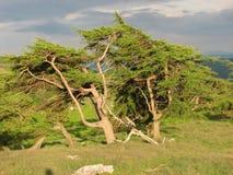 在日落的针叶树树在卡斯特尔砂石麸皮兰戈伦附近 免版税图库摄影