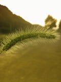 在日落的长狗尾草 库存照片