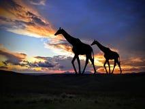 在日落的长颈鹿在非洲 免版税库存照片