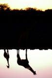 在日落的长颈鹿 库存照片