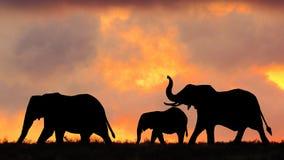 在日落的非洲大象步行 库存图片