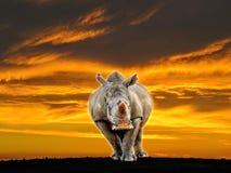 在日落的非洲白色犀牛 库存照片